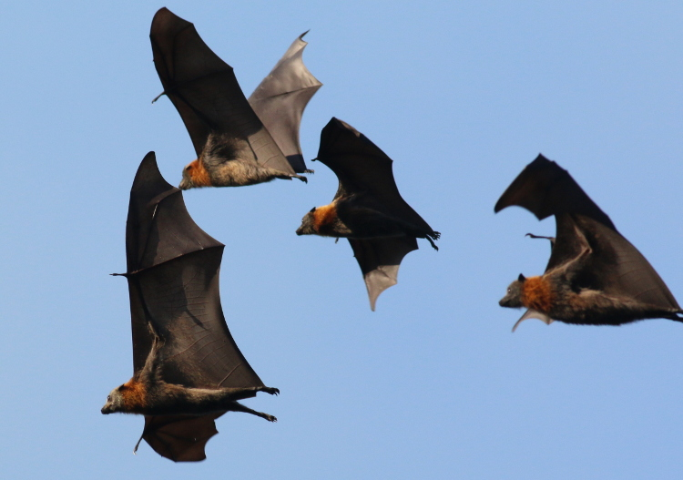 Grey-headed Flying Foxes. Photo by P Knock